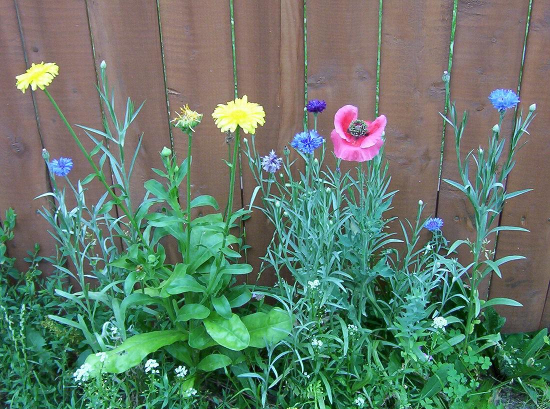 Полевые цветы июнь июль 2003